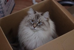 Siberian pussycat with blue eyes sitting in the box . Image with selective focus and toning. Image with noise effects. Focus on the eyes.