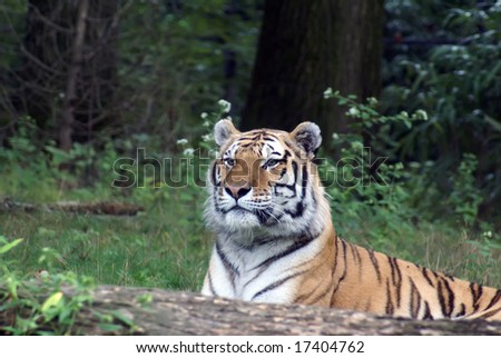 "Siberian ""Amur"" tiger in the Bronx Zoo - stock photo"