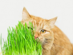 Siberian red cat eat green grass, green juicy grass for cats, sprouted oats useful for cats