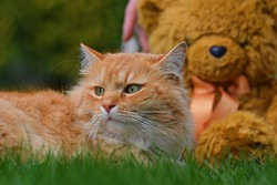 Siberian red-haired cat