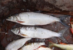 Siberian salmon fish-lake whitefish living in a large forest lake