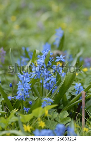 Siberian Squill - one from first spring flowers - shallow DOF