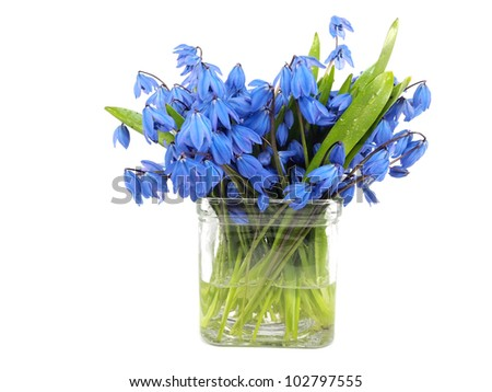 Siberian squill or Scilla siberica in vase on a white background
