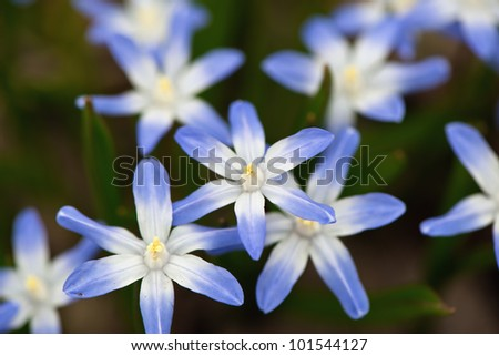 Siberian squill (Scilla siberica; wood squill) and Lucile's Glory of the snow flowers