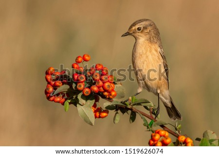 Siberian Stonechat perched on a branch with orange fruits