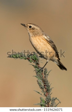 Siberian Stonechat perched on a green  branch
