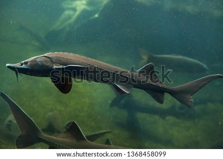 Siberian sturgeon (Acipenser baerii). Freshwater fish. #1368458099