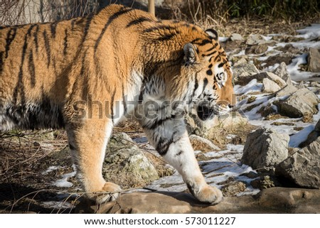 Siberian tiger #573011227
