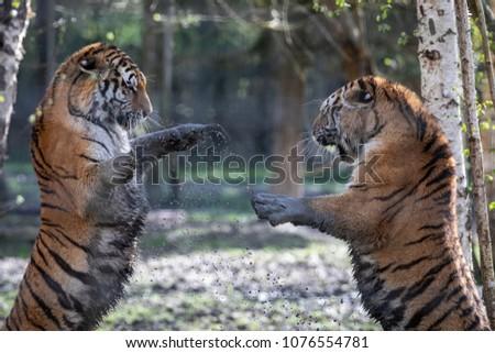 Siberian Tiger Animal  #1076554781