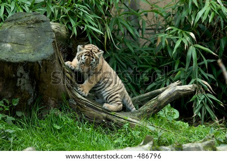 Siberian tiger cub at play