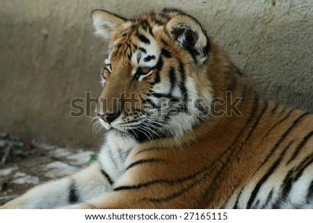 Siberian tiger cub lying in the shade #27165115