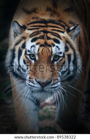 Siberian tiger face very close up