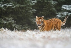 Siberian tiger (female, panthera tigris altaica), side view. A dangerous beast in its natural habitat. In the forest in winter, it is snow and cold.