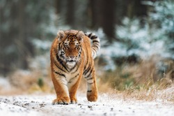 Siberian tiger (female, Panthera tigris altaica) walking, front view. A dangerous beast in its natural habitat. In the forest in winter, it is snow and cold.