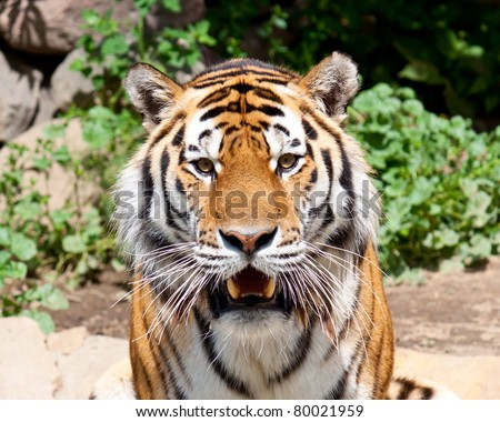 Siberian tiger in Moscow zoo