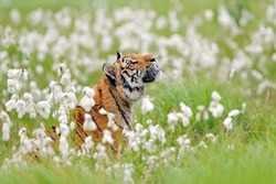 Siberian tiger in nature meadow habitat, foggy morning. Amur tiger hunting in green white cotton grass. Dangerous animal, taiga, Russia. Big cat sitting in environment.  Wild cat in wildlife nature.