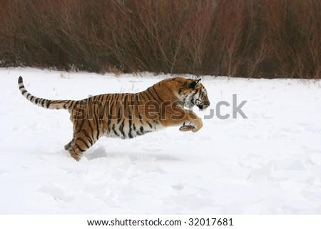 Siberian Tiger in Running in Snow