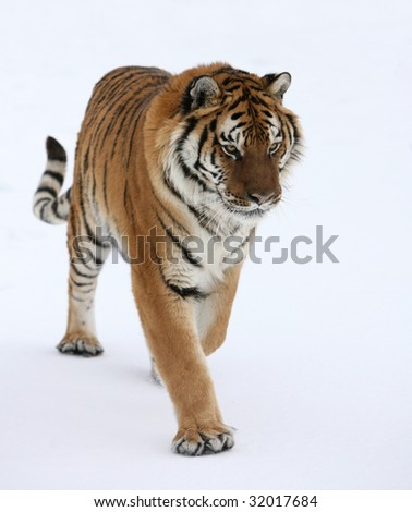 Siberian Tiger in Running in Snow