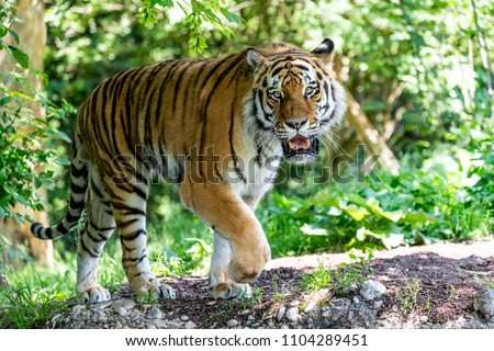 Siberian Tiger in the wilderness on green backgroung