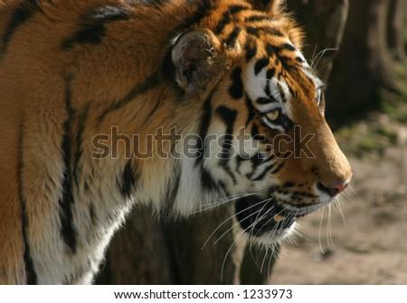 Siberian tiger looking fierce