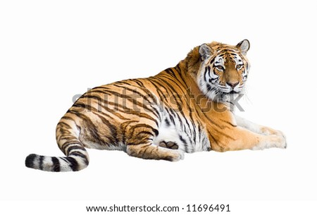 Siberian tiger lying isolated on white #11696491