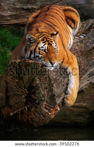 Siberian tiger lying stretched on a fallen tree above the water