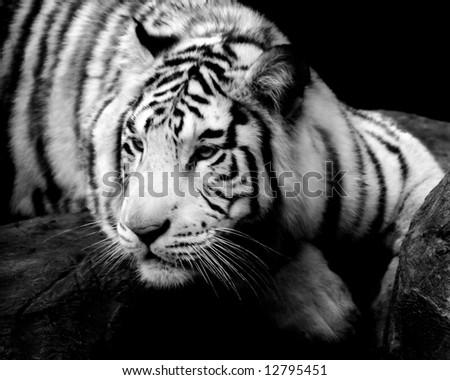 Siberian Tiger on a ledge. - stock photo
