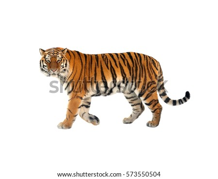 Siberian tiger (P. t. altaica), also known as Amur tiger