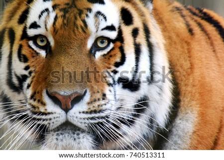 Siberian tiger (Panthera tigris altaica), also called Amur tiger looking intensive at camera. Horizontal close up image. #740513311