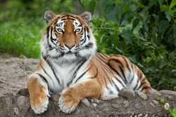 Siberian tiger (Panthera tigris altaica), also known as the Amur tiger.