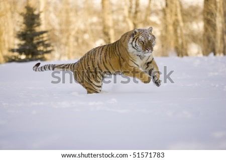 Siberian Tiger (Panthera tigris altaica), Controlled Conditions, Montana, Captive - stock photo