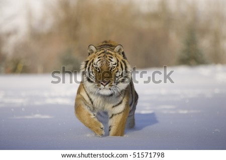 Siberian Tiger (Panthera tigris altaica), Controlled Conditions, Montana, Captive