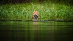Siberian tiger, Panthera tigris altaica. Head of tiger looking from green grass above water surface. Tiger cat on hunt. Tiger in taiga environment.