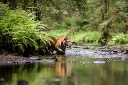 Siberian tiger, Panthera Tigris Altaica, hunts in a creek amid a green forest Top predator in a natural environment.