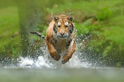 Siberian tiger, Panthera tigris altaica, low angle photo direct face view, running in the water directly at camera with water splashing. Attacking predator in action.