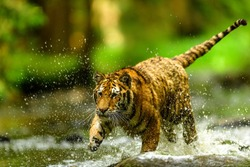Siberian tiger, Panthera tigris altaica, low angle photo in direct view, running in the water directly at camera with water splashing around. Attacking predator in action. Tiger in taiga environment.