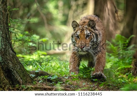 Siberian tiger, Panthera tigris altaica, low angle photo in direct view, running in the water directly at camera with water splashing around. Attacking predator in action. Tiger in taiga environment #1116238445