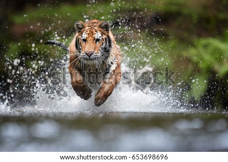 Photo of  Siberian tiger, Panthera tigris altaica, low angle photo in direct view, running in the water directly at camera with water splashing around. Attacking predator in action. Tiger in taiga environment.