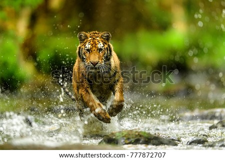 Siberian tiger, Panthera tigris altaica, low angle photo in direct view, running in the water directly at camera with water splashing around. Attacking predator in action. Tiger in taiga environment. #777872707