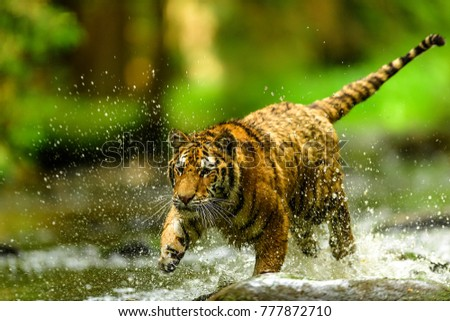Siberian tiger, Panthera tigris altaica, low angle photo in direct view, running in the water directly at camera with water splashing around. Attacking predator in action. Tiger in taiga environment. - Shutterstock ID 777872710