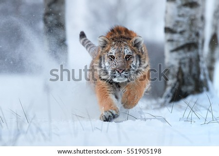 Shutterstock Siberian tiger, Panthera tigris altaica, male with snow in fur, running directly at camera in deep snow. Attacking predator in action. Taiga environment, freezing cold, winter.