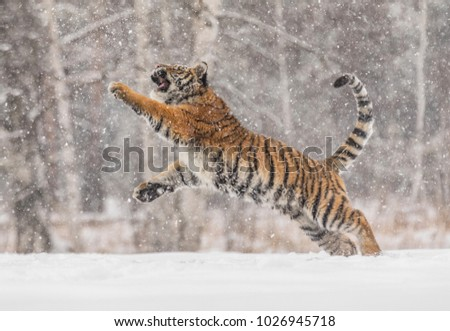 Shutterstock Siberian tiger, Panthera tigris altaica, male with snow in fur. The Usurian Tiger in a wild winter landscape attacks the prey. Tiger jumping in a wild landscape.. Attacking predator in action