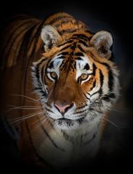 Siberian Tiger (Panthera tigris altaica) portrait in Montana, USA