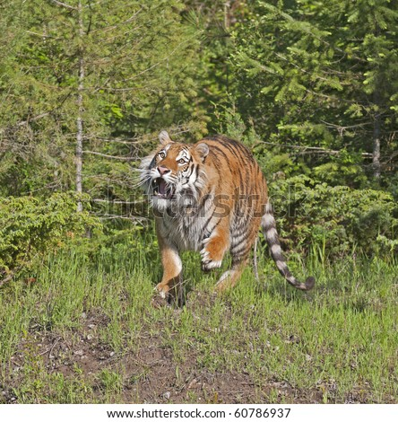 Siberian tiger (Panthera tigris altaica) stalks prey in the forest.