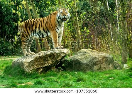 Siberian tiger (Panthera tigris altaica) standing on a rock