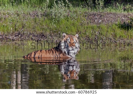 Siberian tiger (Panthera tigris altaica) takes a swim in a forest pond.