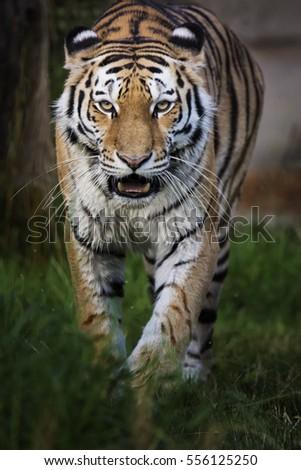 Siberian tiger (Panthera tigris altaica) wonderful and rare animals.
