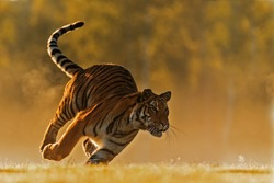 Siberian tiger (Panthera tigris tigris) shot in a very fast run