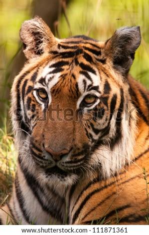 Siberian Tiger portrait