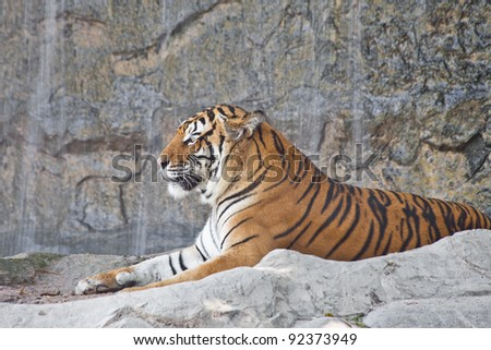 Siberian Tiger resting in a zoo